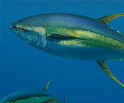 Pacifical's Yellowfin The Cleanest Sustainable Tuna In The Market